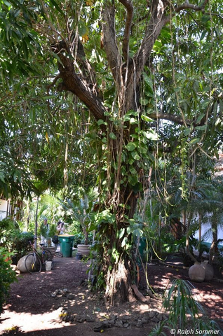 Ficus mit Philodendron