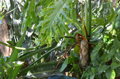 Philodendron in der Kaffeefarm in Antigua